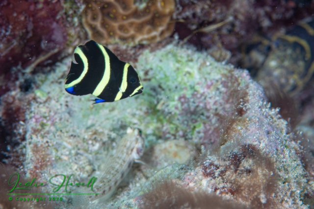 French Angelfish (Juvenile)