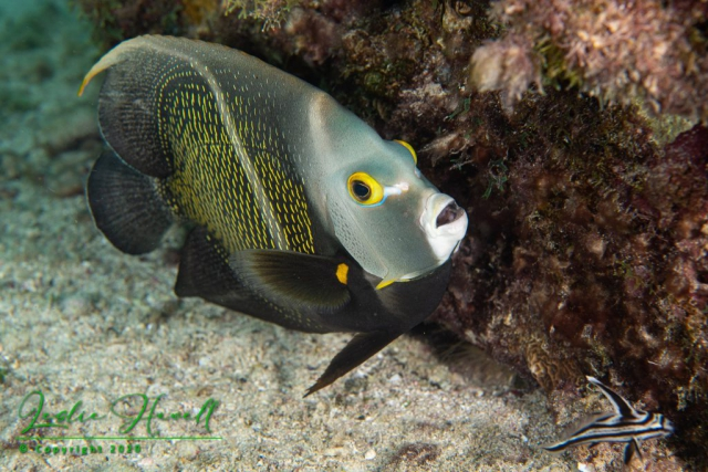 French Angelfish and Highhat