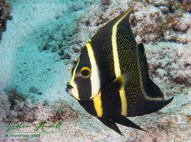 French Angelfish (Transitional Phase)
