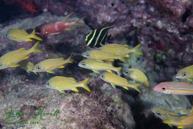 French Grunts, Squirrelfish, French Angelfish (Transitional Phase)