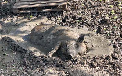 The Last Curaçao Dive Site Has Pigs