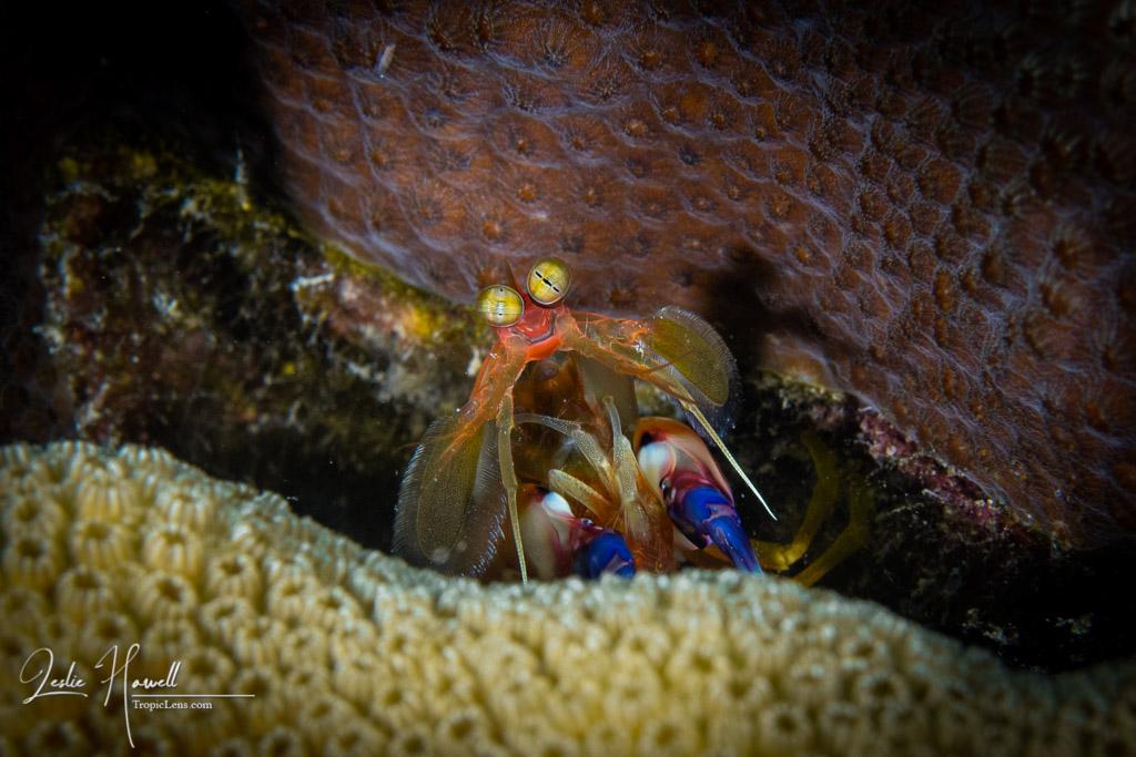 Dark Mantis Shrimp